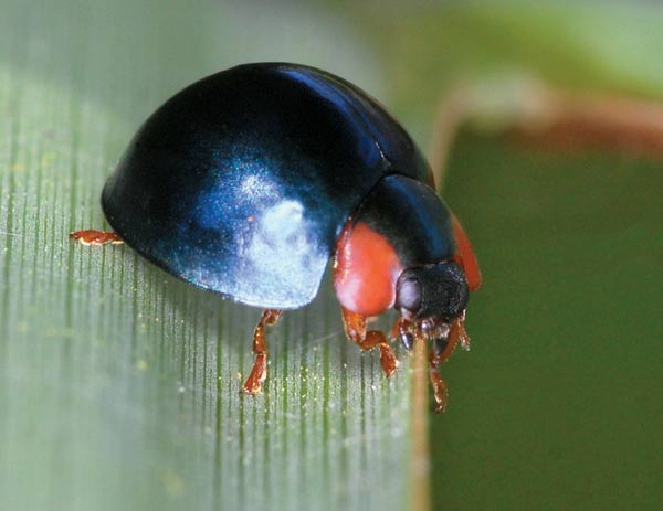 Did you know there are blue Lady beetles? Yes! And these ones don't even have spots. There's plenty more of these beneficial insects you probably won't recognize. Click to see more.