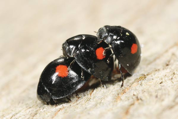 The Twice-stabbed Lady Beetle is black with two red spots! Get to know all the Lady Beetles—they're helping you out in the garden!