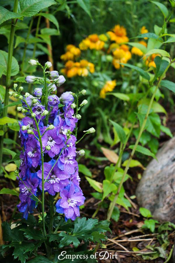 Delphinium flower in garden.