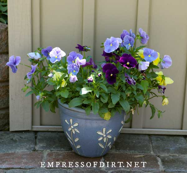 Pansies in Pretty Pot