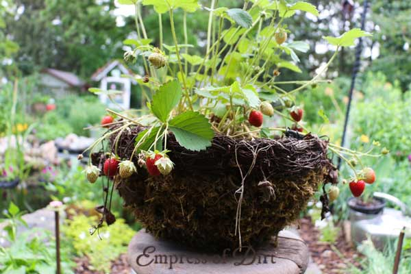 Basket of strawberry plants in garden.
