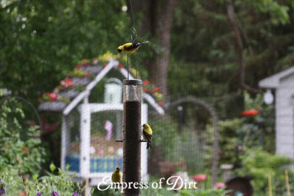 Goldfinches on nyger seed feeder.