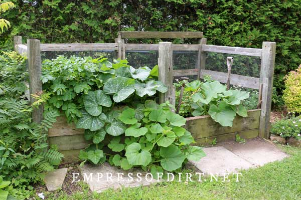Large wood compost bins with squash vines.