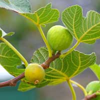 Fig growing on tree.
