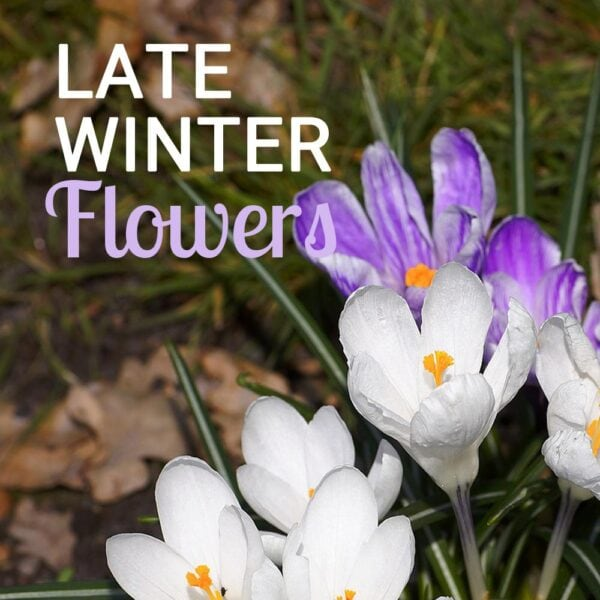 White and purple crocuses that flower in late winter.