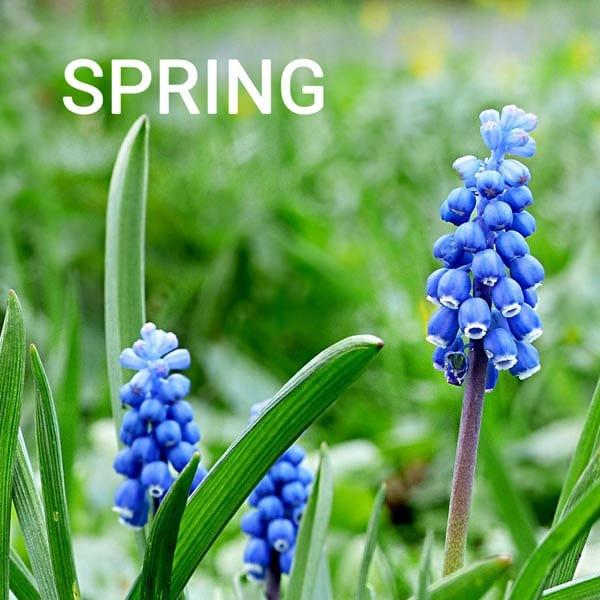 Hyacinth bulbs in spring garden.