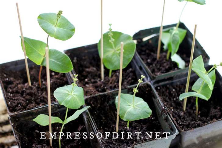 Freshly propagated honeysuckle cuttings in pots.