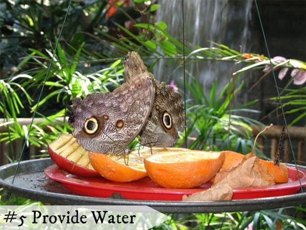 Butterflies drink water from natural sources like shallow puddles on the ground.