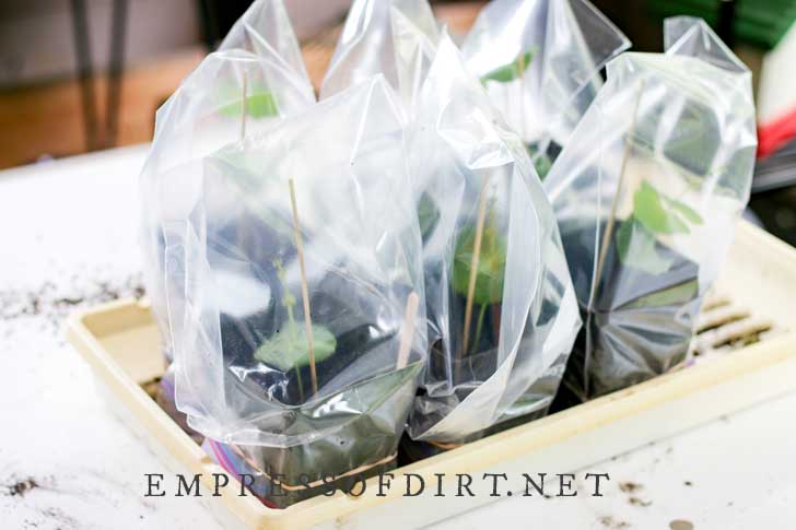 Propagated honeysuckle cuttings covered in plastic bags to act as a greenhouse.