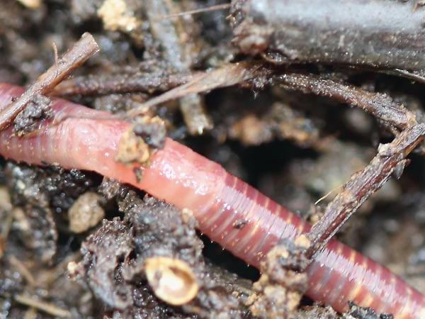 E. fetida worm