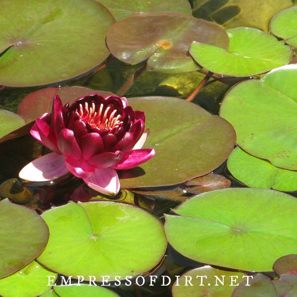 Pink water lily and lily pads in a pond.
