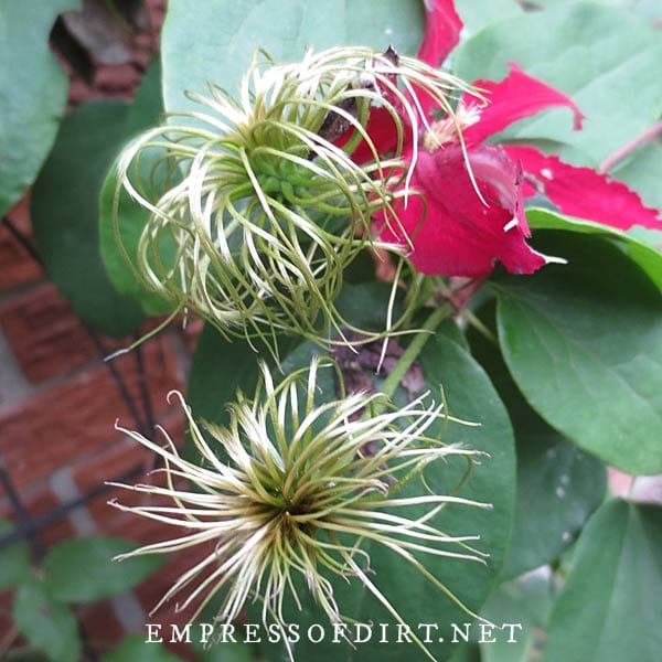 Clematis seeds forming on the dying flower.