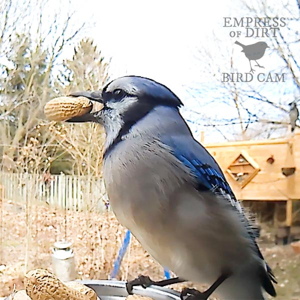 Blue jay at bird feeder.
