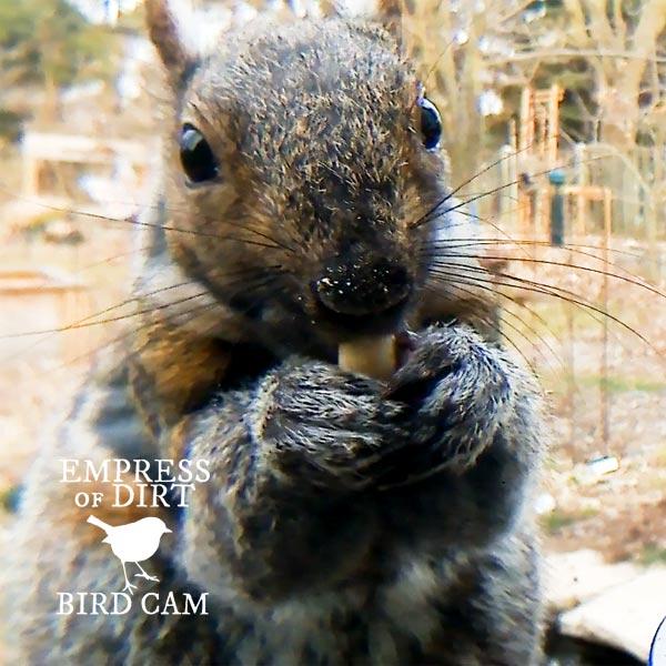 Squirrel at bird feeder.