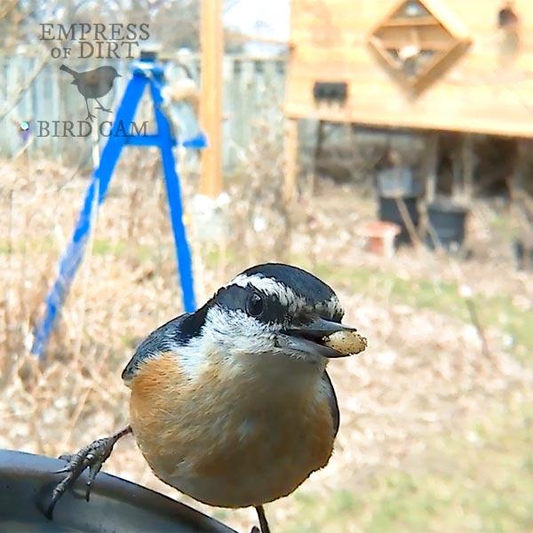 Nuthatch at bird feeder.