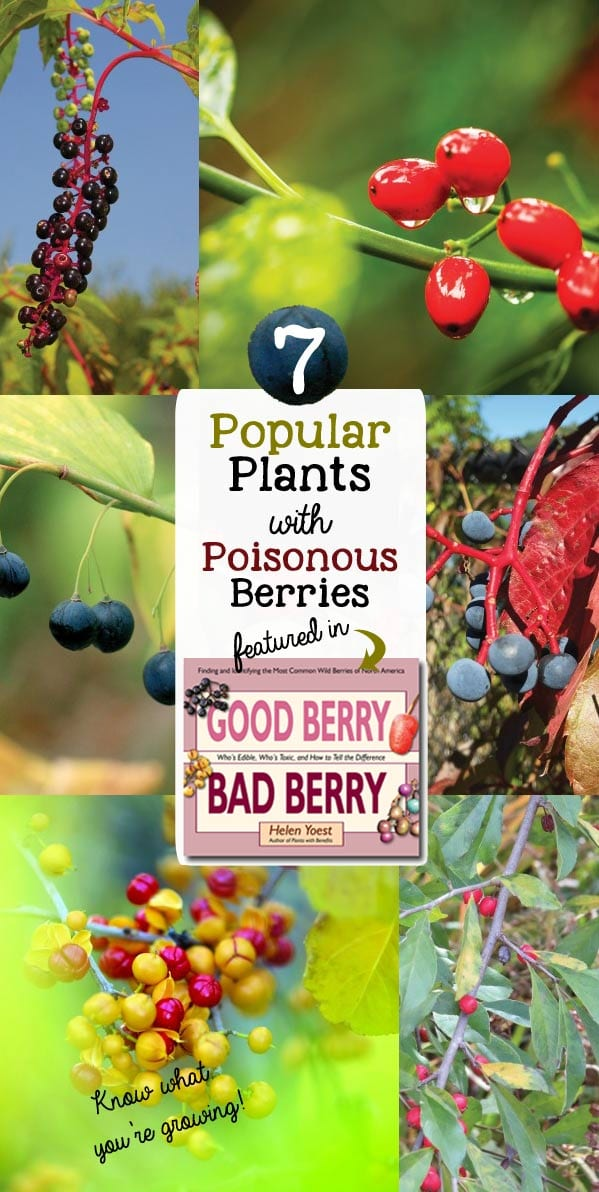 Did you know some popular and common garden plants produce poisonous berries. While some are midly toxic, others can be fatal if ingested. Find out which ones you should look out for! These berries are featured in the new book, Good Berry Bad Berry by Helen Yoest.