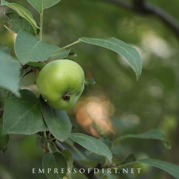 Apple growing on tree.