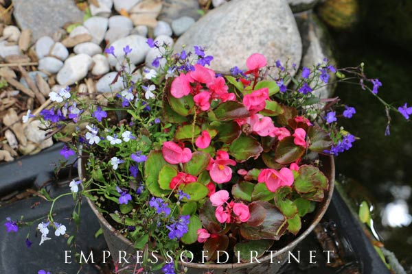 Begonias and lobelia (white and purple) are happy in this old sap bucket.