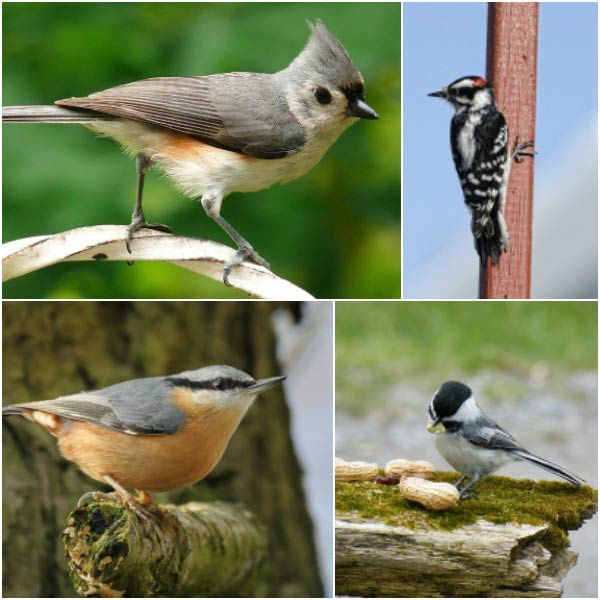 Examples of birds that will hand feed: titmouse, woodpecker, nuthatch, and chickadee.