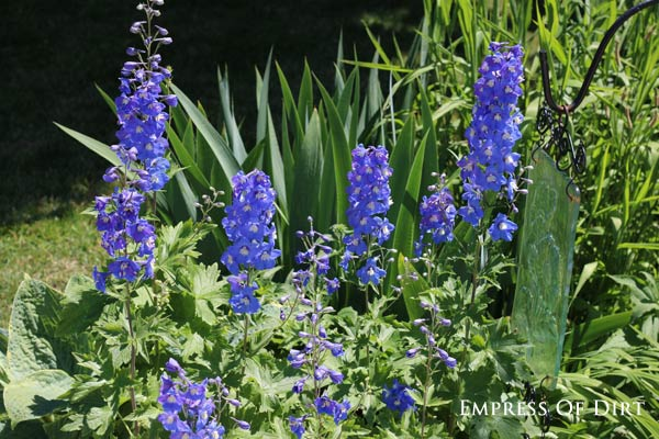 Delphinium seeds - If you love delphiniums and wish the beautiful, tall, blue flowers would last throughout the summer. They do not, of course, but with this simple tip, you can actually get these gorgeous, flowering giants to bloom a second time within the same growing season.