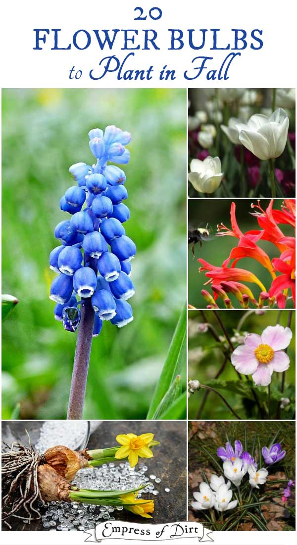 20 Flowering Bulbs To Plant In Fall Empress Of Dirt