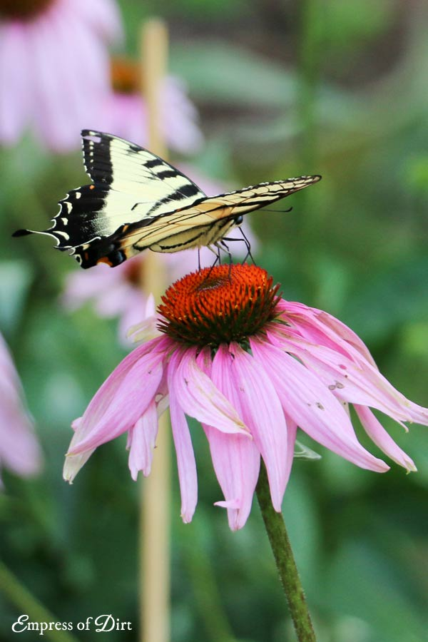 Swallowtail butterfly on coneflower in summer garden