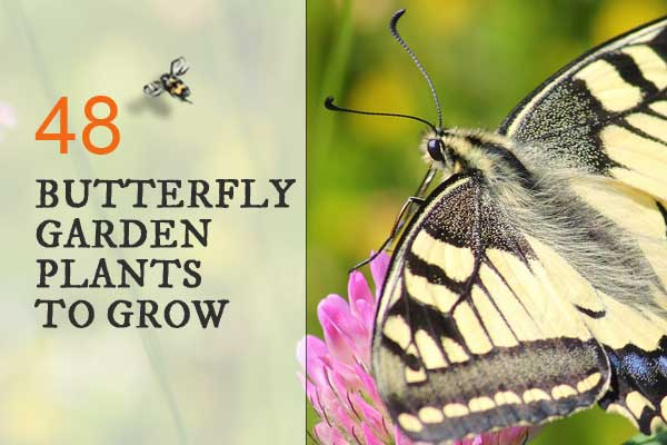 Pollinator Friendly Gardening: We Know Itu0027s Important To Provide Flowers  That Attract Butterflies, But