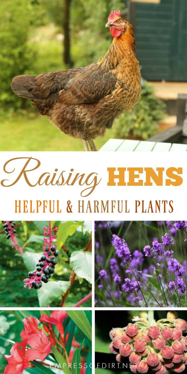 Helpful and harmful plants for backyard chickens. Watch what you grow to keep your hens safe.