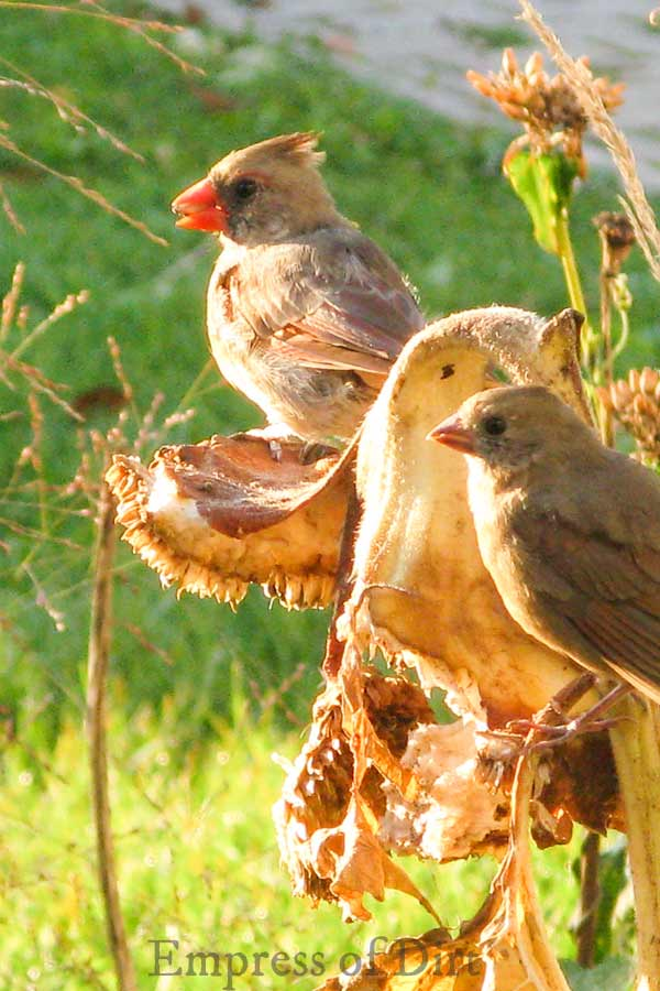 Cardinals eating sunflower seeds in the garden