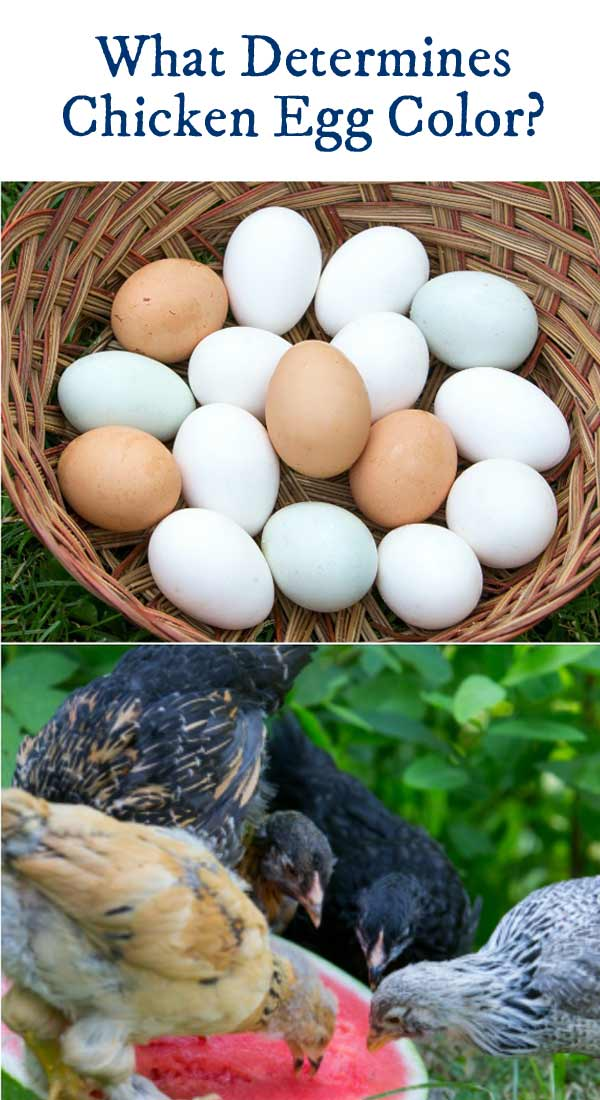 what determines the color of an egg 28 images the egg