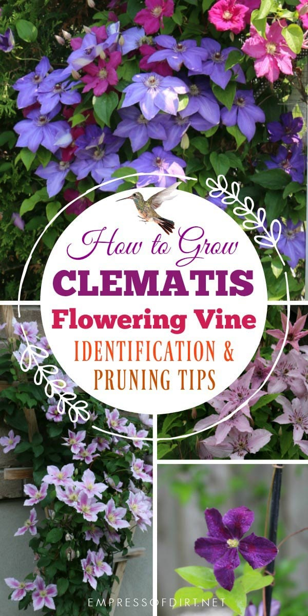 This clematis care guide includes tips for best growing conditions and how to figure out what type of vine you have. Once you know which type you have, you will know when (or if) to prune it, general maintenance, and how to get lots of flowers.