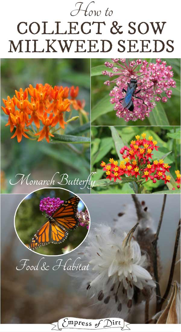 How to collect and sow milkweed Seeds for monarch butterfly habitat