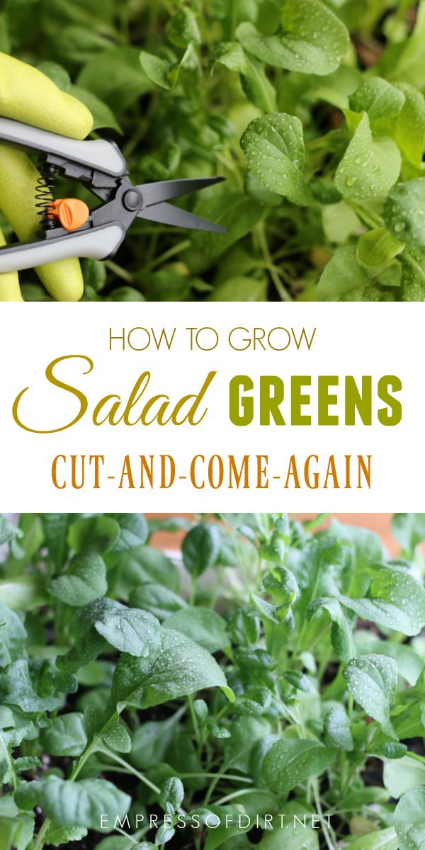 How to grow cut and come again salad greens in the home garden.