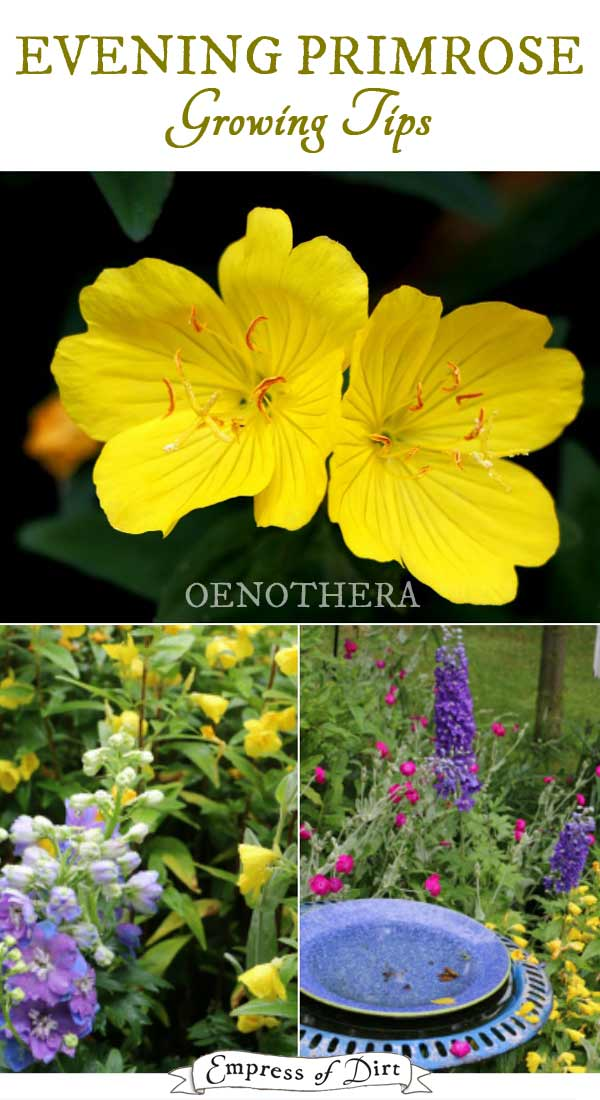 Evening Primrose Growing Tips | Oenothera