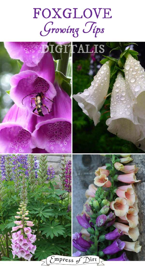 Foxglove Growing Tips | Digitalis