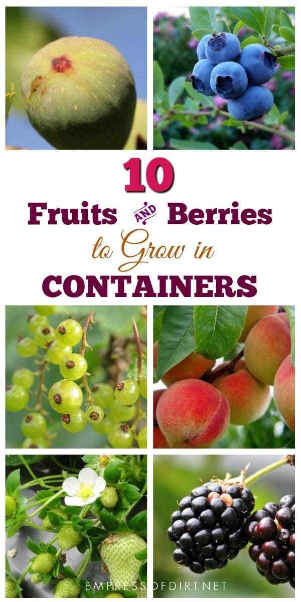 There are many fruits and berries that grow nicely in containers. If your garden space is limited or you have poor soil quality, container growing is an excellent option.
