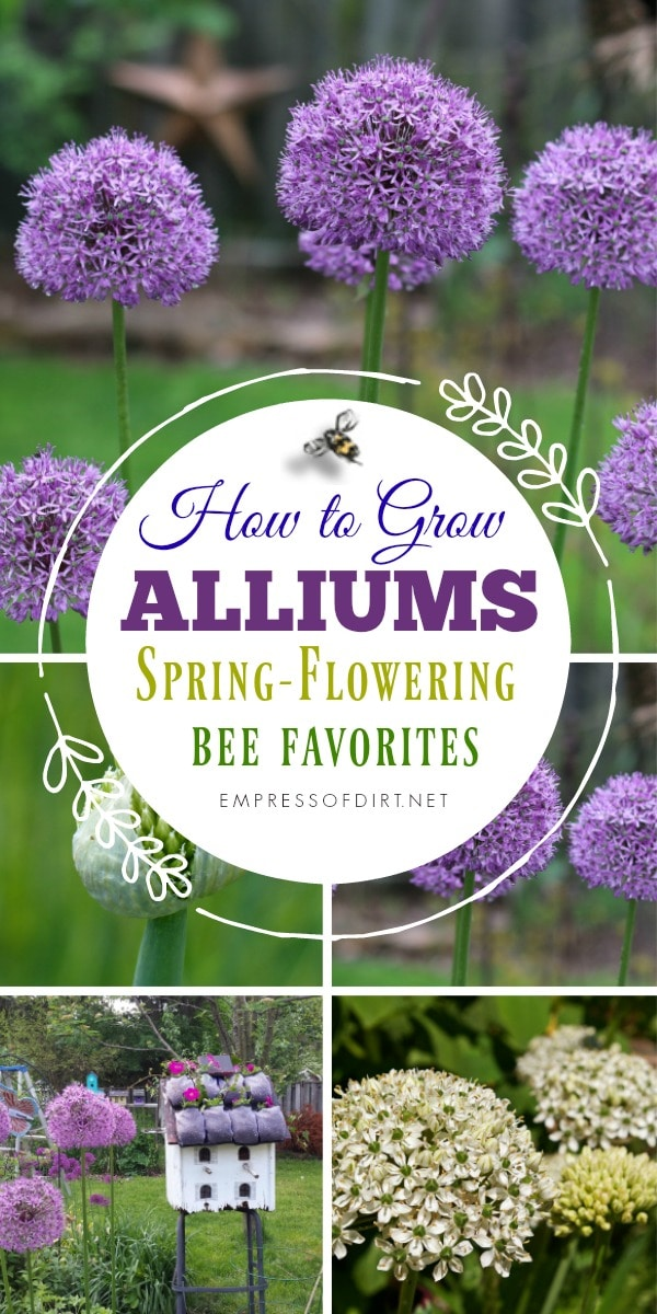 Alliums are beautiful spring-flowering bulbs that bees love.