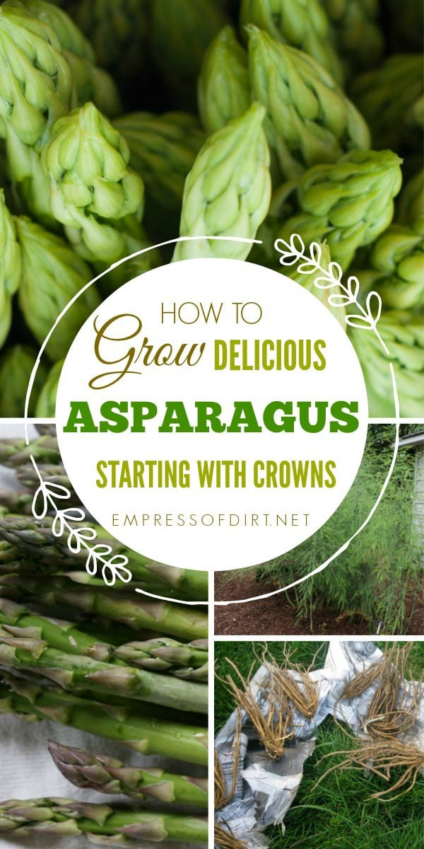 How to grow asparagus from crowns. This delicious spring vegetable also makes a gorgeous ornamental plant.