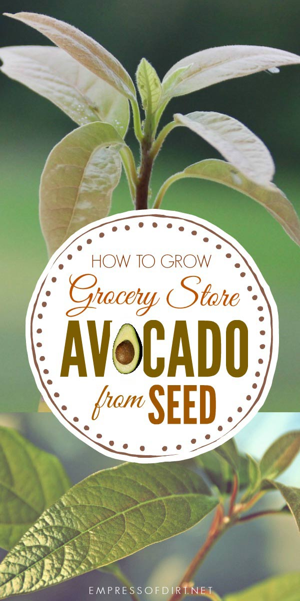 An easy method to grow grocery store avocado from seed for a new houseplant.