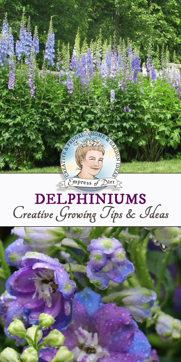 Garden tips and ideas for growing delphiniums including seed starting, double-blooming season, and care.