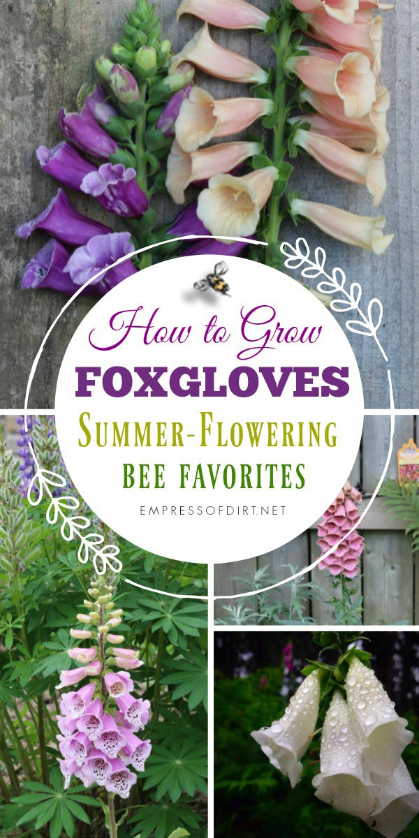 How to grow foxgloves (Digitalis purpurea) for your home garden.