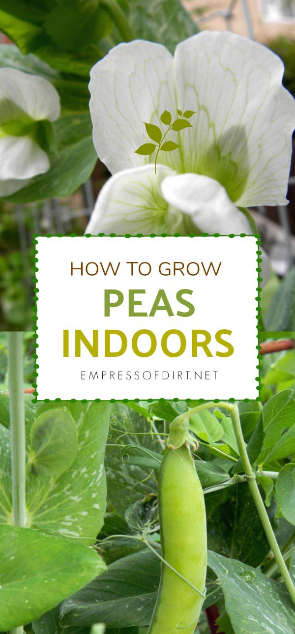How To Grow Peas Indoors
