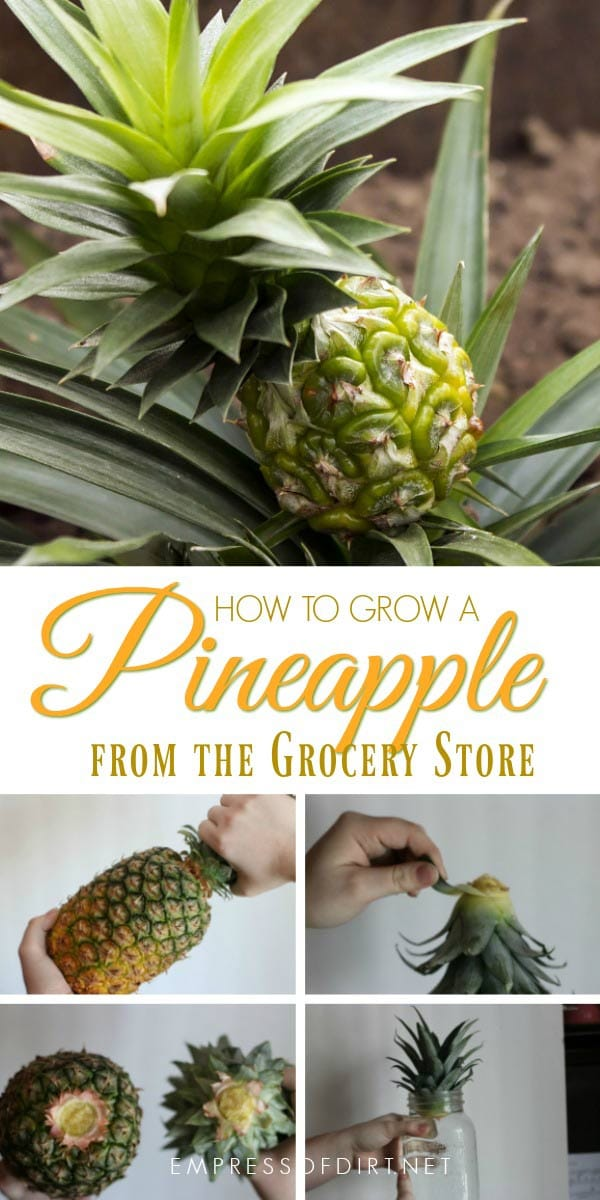 How to grow a new pineapple houseplant from a grocery store pineapple.