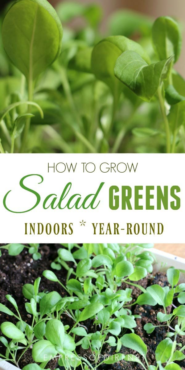 How to grow salad greens indoors all year-round.