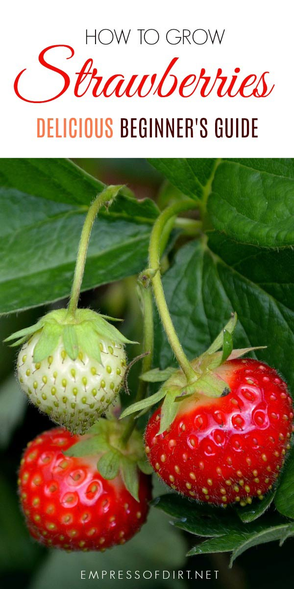 This Is For Beginner Gardeners Who Want To Grow Strawberries In The Home Garden