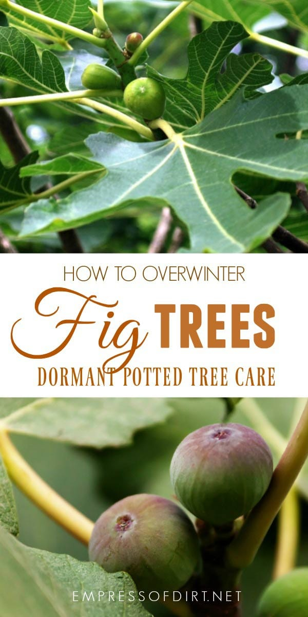 How to overwinter potted fig trees in a cold climate.