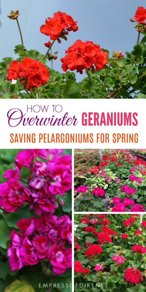 How to store zonal geraniums (Pelargoniums) for reblooming in spring.