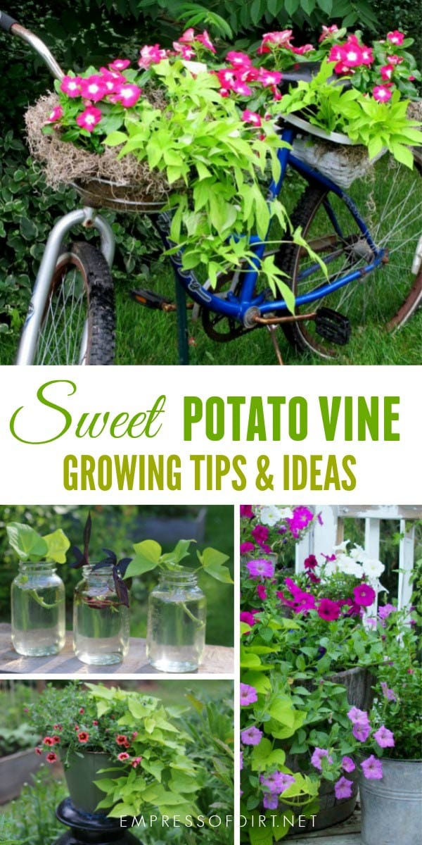 When It comes to quick, easy to grow, goof-proof annuals, sweet potato vine (Ipomoea butatas) is one of the best. I'll show you some creative uses for these reliable, gorgeous vines.
