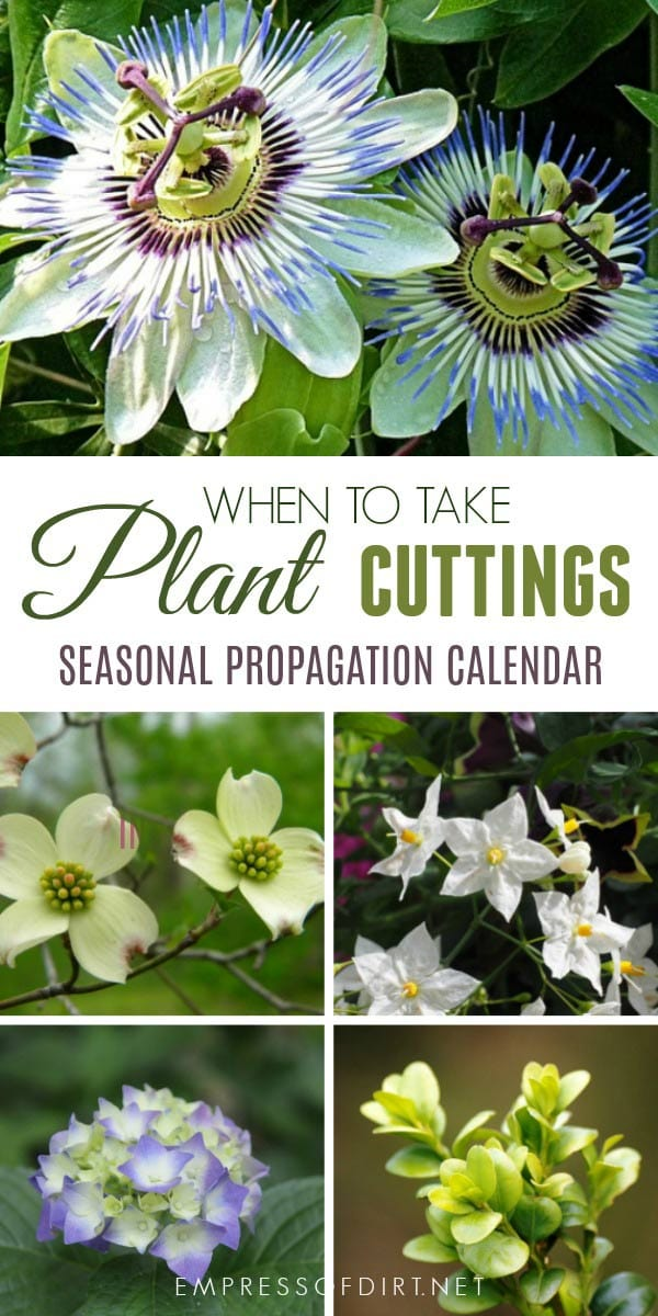 Growing new plants from cuttings is an easy way to get more of the plants, perennials, shrubs, and vines you love. This seasonal calendar shows some of the plants you can propagate by softwood, semi-ripe, and hardwood cuttings throughout the year.