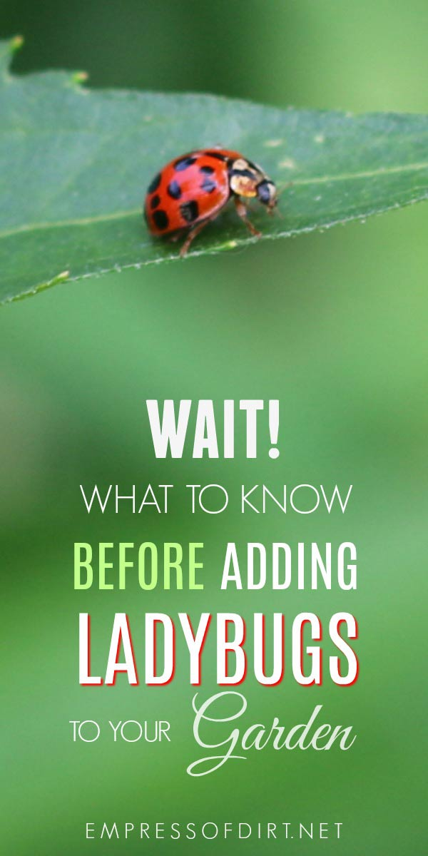 Wait! Before you buy ladybugs for your garden, find out if they will really be beneficial.